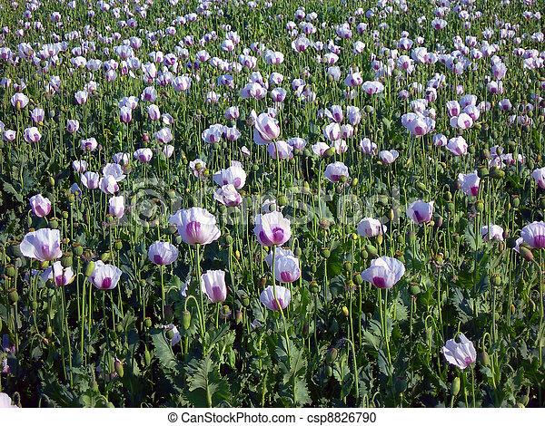 Poppy field - csp8826790