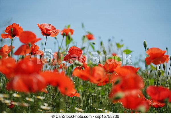 Poppy field - csp15755738
