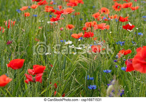 Poppy field - csp16971531