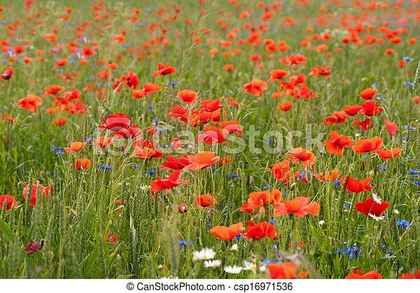 Poppy field - csp16971536