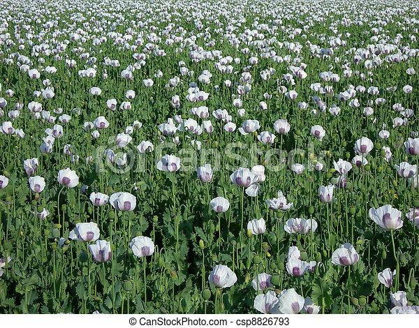 Poppy field - csp8826793