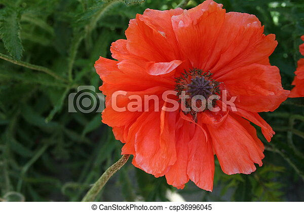 Poppy flower in the spring garden symbol of victory day over the poppy flower in the spring garden symbol of victory day over the nazism in world war ii 9th ninth of may mightylinksfo