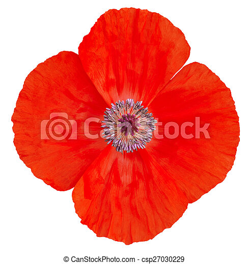 Poppy flower remembrance day stock photo search pictures and poppy flower remembrance day csp27030229 mightylinksfo