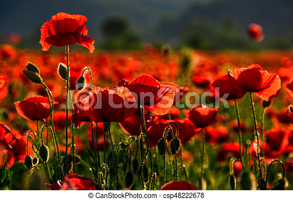 poppy flowers field at sunset