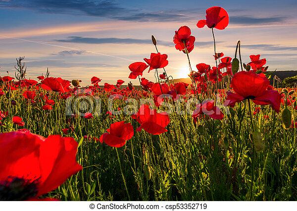 poppy flowers field in mountains
