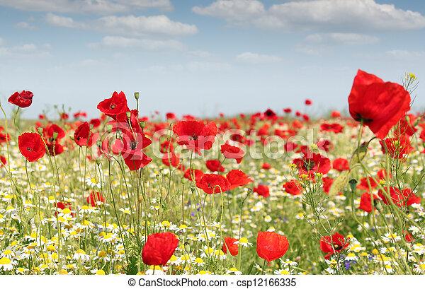 poppy flowers field - csp12166335