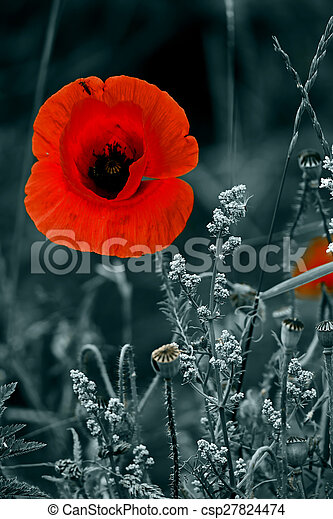 Red Poppy Flowers On A Black And White Background