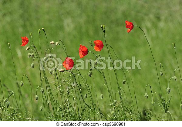 Poppy Flowers on a meadow in summer - csp3690901