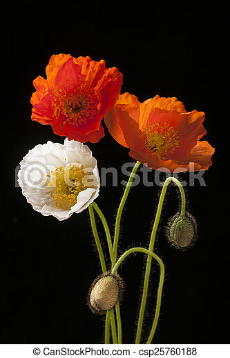 Poppy Flowers On Black Red Orange And White Poppy Flowers With