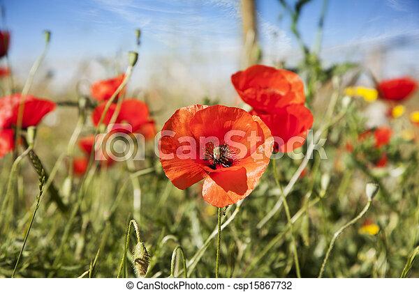 Poppy in a summer meadow - csp15867732