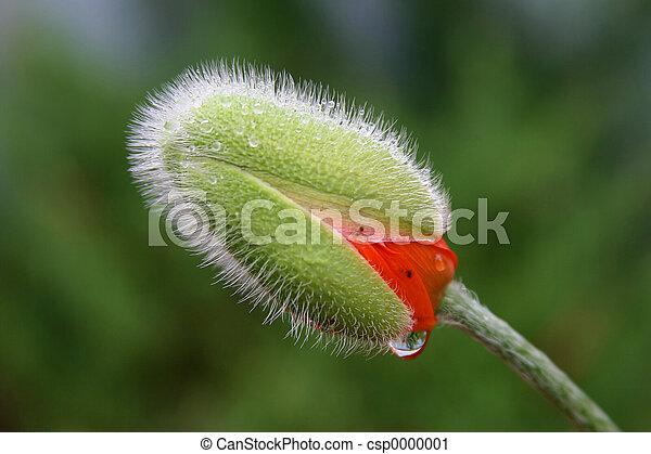 Poppy in the rain - csp0000001