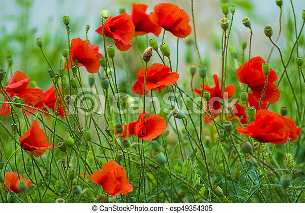 Poppy Red Poppy Flowers Red Poppies Blossom On Wild Field