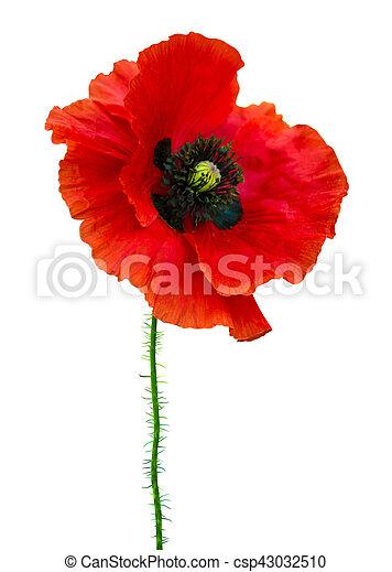 Poppy Red Poppy Isolated On White Backgroundd Poppy Beautiful Single Flower Head Red Ranunculus Isolated On White Background