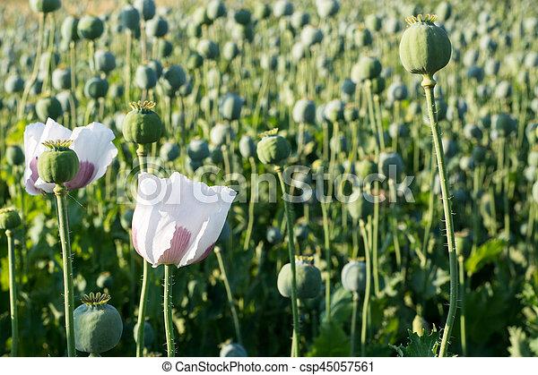 Poppy seed flower papaver somniferum poppy seed pod in plantation poppy seed flower csp45057561 mightylinksfo