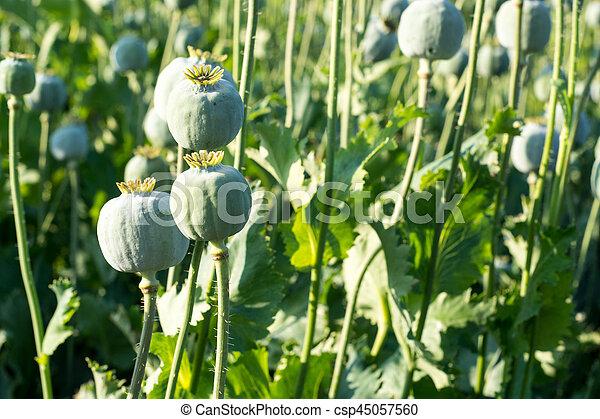 Poppy seed papaver somniferum poppy seed pod in plantation poppy seed csp45057560 mightylinksfo