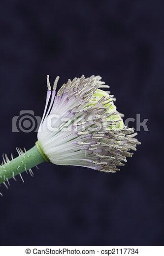 poppy stamens - csp2117734