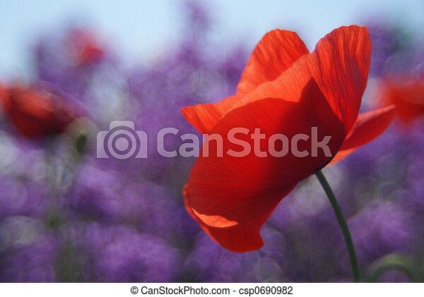 poppy - csp0690982