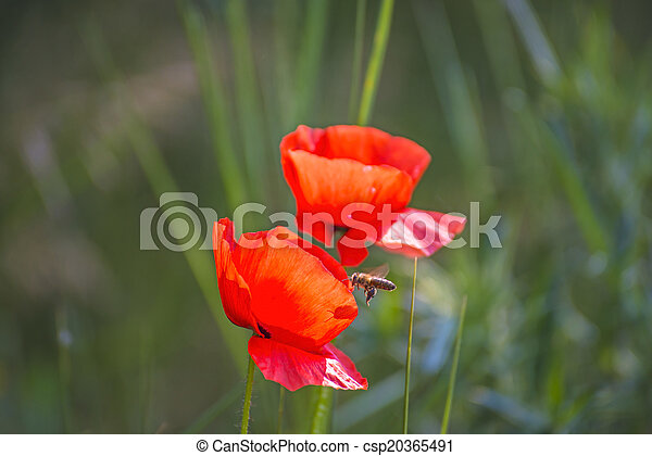 poppy - csp20365491