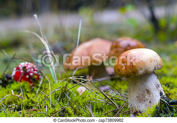 porcini mushrooms and fly agaric in moss - csp73809982