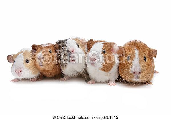 porcos guinea, cinco - csp6281315