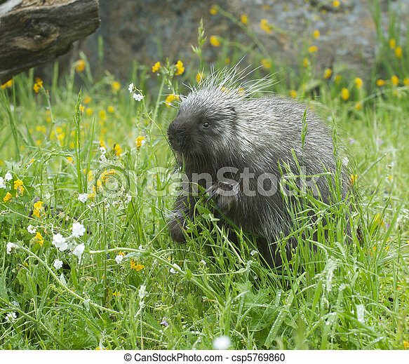 Porcupine eating in tall grass and yellow flowers porcupine eating in tall grass csp5769860 mightylinksfo