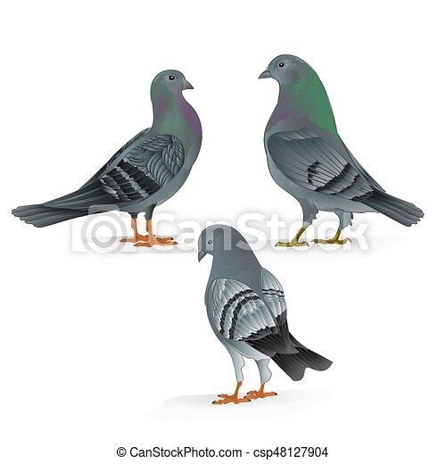 Los portadores de palomas domesticas crían aves deportivas antiguas fijan tres vectores.eps - csp48127904