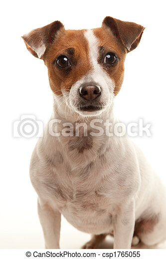Portait of an Adorable Jack Russell Terrier - csp1765055