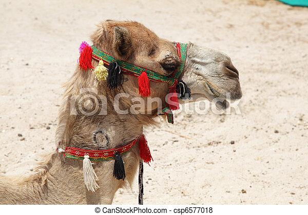 porträt, dubai, sandstrand, kamel - csp6577018