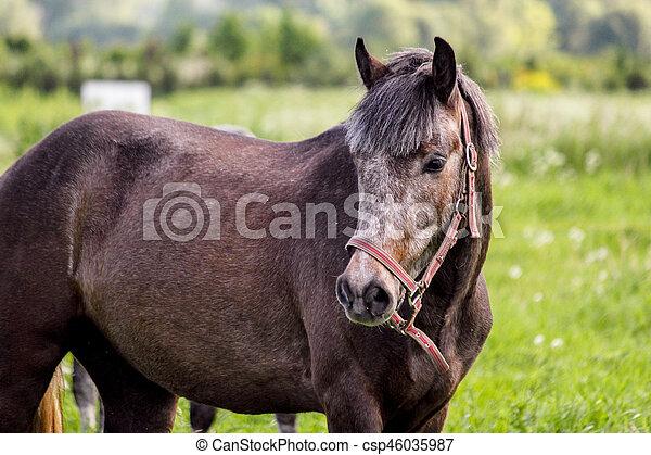 Portrait von grauem Pony in der Weide - csp46035987