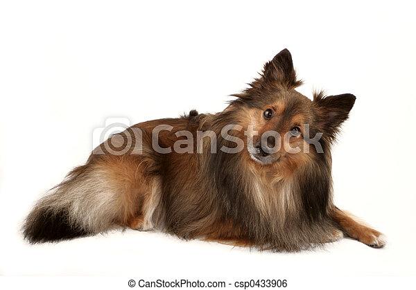 porträt, hund - csp0433906