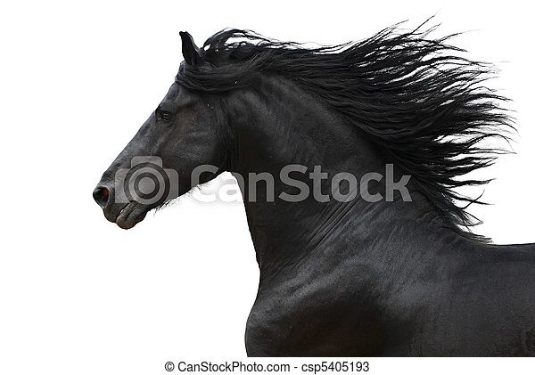 Portrait eines galoppierenden frisischen Pferdes - csp5405193