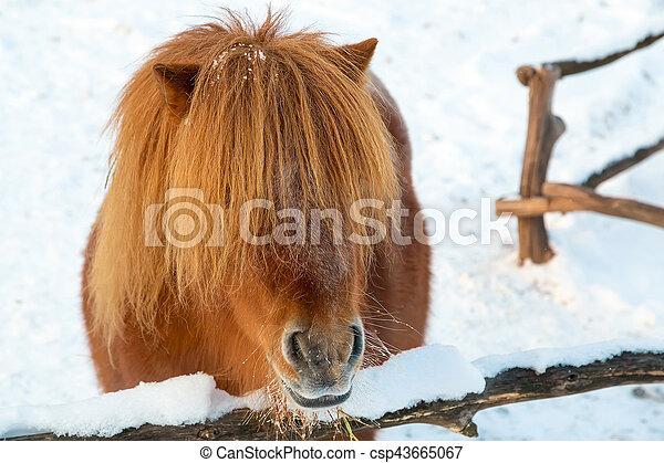 porträt, pony, rotes  - csp43665067