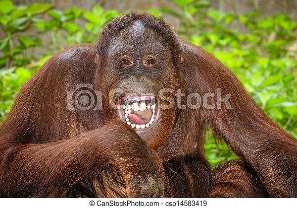 portré, nevető, orangutan - csp14583419