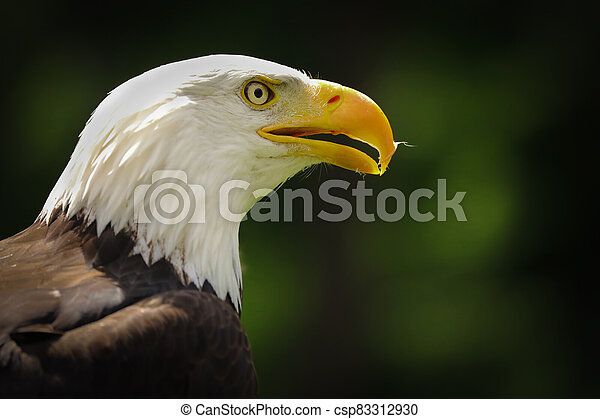 Portrait american eagle on the green background (Haliaeetus leucocephalus) - csp83312930