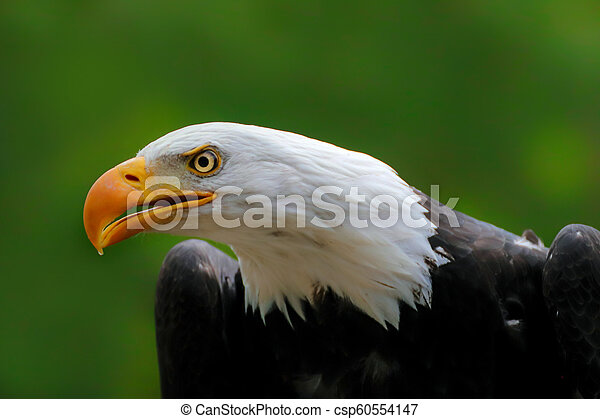 Portrait face american eagle with green background - csp60554147