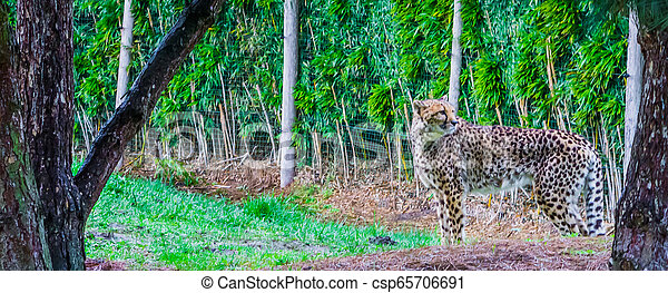 portrait of a cheetah standing in the grass, threatened cat specie from Africa - csp65706691