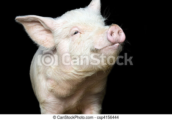 Portrait of a cute pig - csp4156444