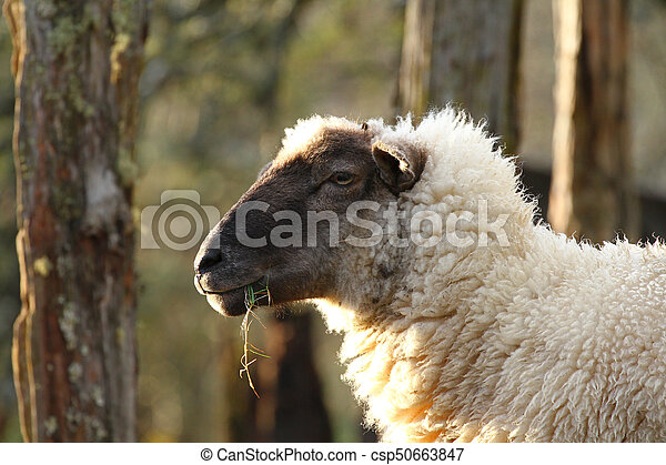 Portrait of a cute white sheep with a black face - csp50663847