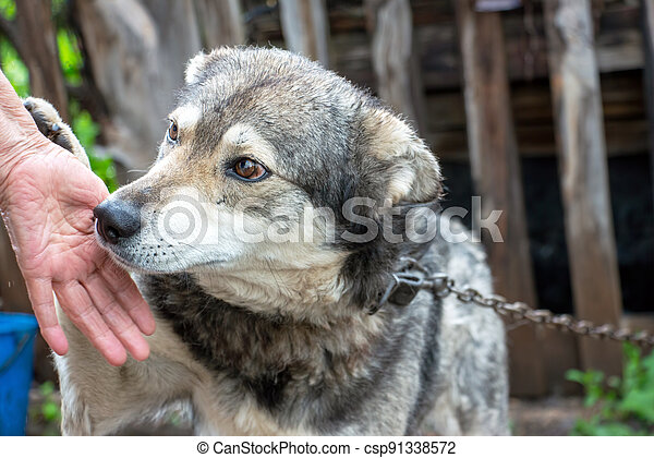 Portrait of a dog mongrel with the hand of the owner - csp91338572