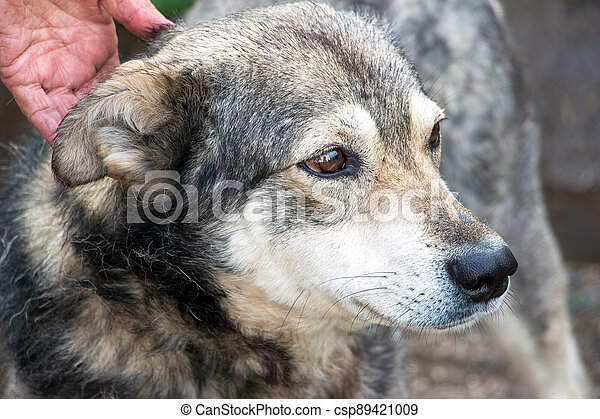 Portrait of a dog mongrel with the hand of the owner - csp89421009