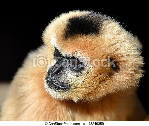 Portrait of a female White Cheeked Gibbon - csp48249359