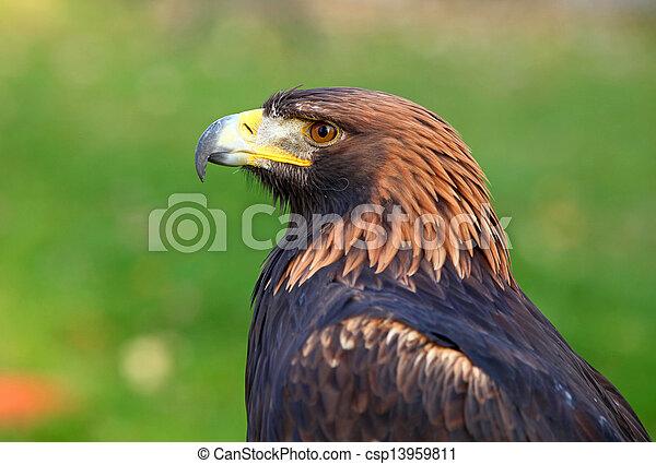 Portrait of a Golden Eagle (Aquila chrysaetos) - csp13959811