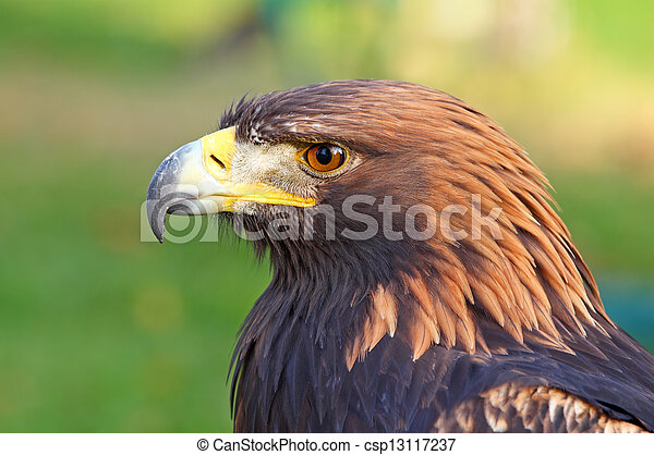 Portrait of a Golden Eagle (Aquila chrysaetos) - csp13117237