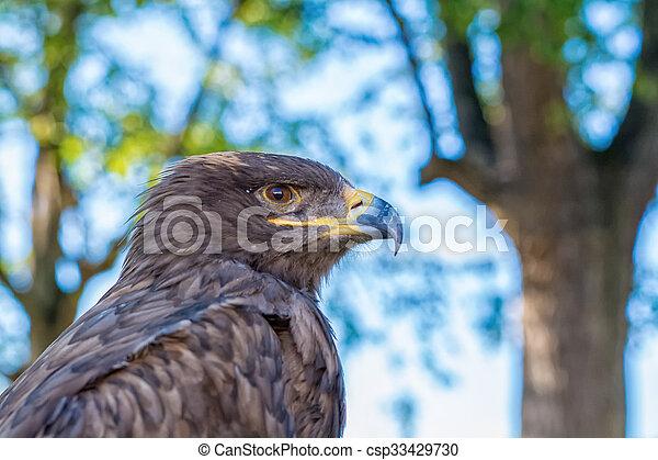 Portrait of a golden eagle - csp33429730