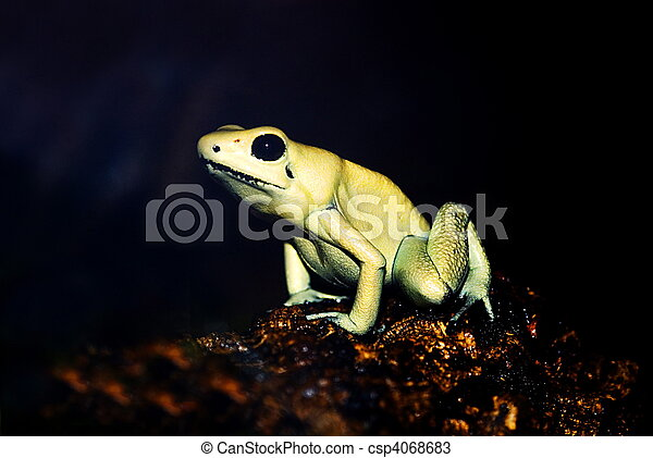 portrait of a golden poison frog phyllobates terribilis in front