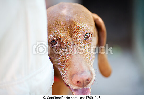 portrait of a Hungarian pointer dog - csp17691945