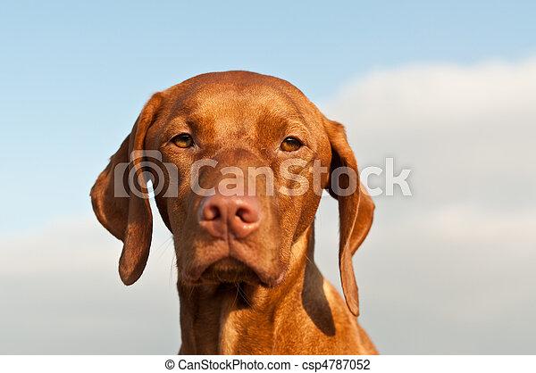 Portrait of a Hungarian Vizsla Dog - csp4787052
