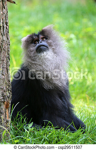 Portrait of a lion tailed monkey looking above - csp29511507