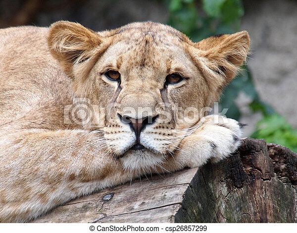 Portrait of a lioness - csp26857299