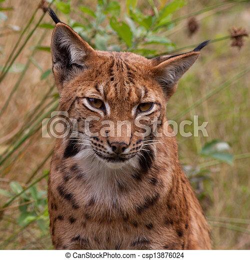 Portrait of a lynx - csp13876024